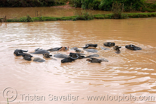 water buffaloes swimming in muddy pond, cows, laos, mud, muddy water, pond, swimming, water buffaloes