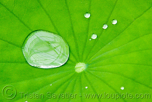 water droplets on hydrophobe lotus leaf, close-up, dewdrops, droplets, hydrophobic, lotus effect, lotus leaf, nelumbo nucifera, plant, superhydrophobic, superhydrophobicity, tropical, water lily, water repellent