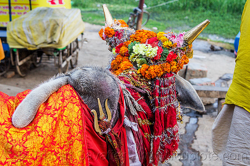 wattle on hump of holy bull, decorated, hindu pilgrimage, hinduism, holy bull, holy cow, hump, india, maha kumbh mela, marigold flowers, sacred bull, sacred cow, trident, wattle