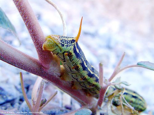 caterpillar - white-lined sphinx moth larva, anal horn, caterpillar, close up, death valley, desert, fall canyon, green, hyles lineata, insect, larva, macro, midsize, moth, wildlife