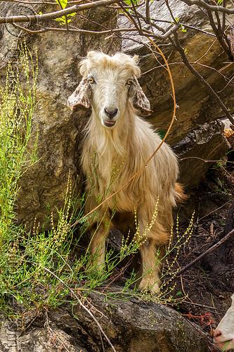 wild baby goat, aegagrus, capra, capra aegagrus hircus, changthangi, kid, pashmina, road, wild goat, wildlife