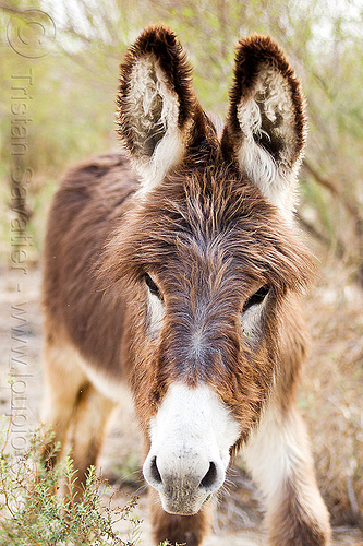wild death valley burro, asinus, donkey, equus, feral, fur, furry, hairy, head, wild burro, wildlife