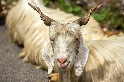 wild himalayan long-haired goat, capra aegagrus hircus, changthangi, pashmina, wild goats, wildlife