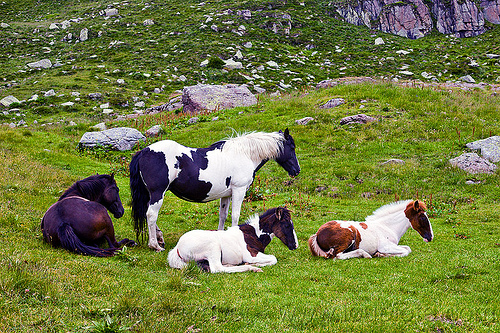 wild horses - foals, baby horse, feral horses, foals, grass field, grassland, lying down, pinto coat, pinto horse, resting, white and black coat, white and brown coat, wild horses