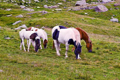 wild horses grazing in mountain meadow, baby horse, feral horses, foals, grass field, grassland, grazing, pinto coat, pinto horse, white and black coat, white and brown coat, wild horses