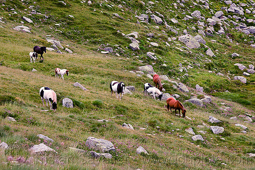 wild horses herd, baby horse, feral horses, field, foals, grassland, grazing, horse band, horse harem, horse herd, horse mob, pinto coat, pinto horse, turf, white and black coat, white and brown coat, wild horses