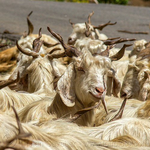 wild long-haired goats, capra aegagrus hircus, changthangi, herd, india, pashmina, wild goats, wildlife
