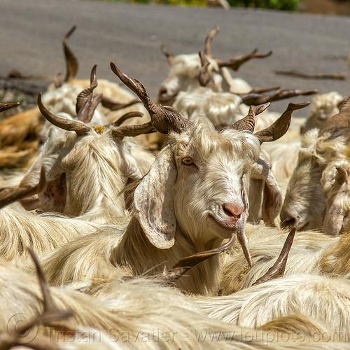 wild long-haired goats, capra aegagrus hircus, changthangi, herd, pashmina, wild goats, wildlife