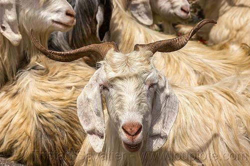 wild long-haired himalayan mountain goats, capra aegagrus hircus, changthangi, pashmina, wild goats, wildlife
