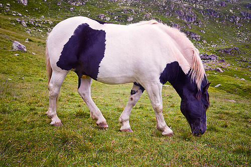 wild pinto horse grazing, feral horse, grass field, grassland, pinto coat, pinto horse, stallion, stud, white and black coat, wild horse