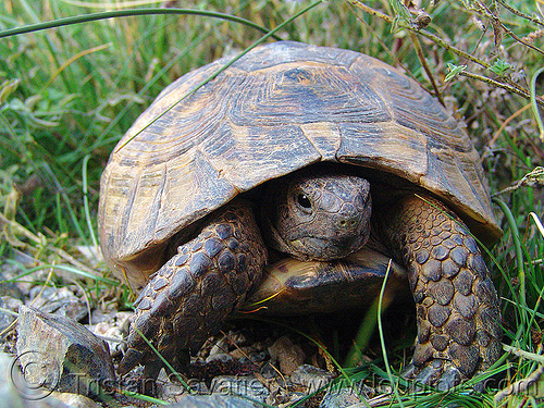 tortoise, reptile, shell, turtle, wildlife