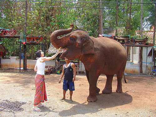ช้าง - woman feeding an elephant - thailand, asian elephant, eating, feeding, mahout, man, thailand, trunk, woman, ช้าง