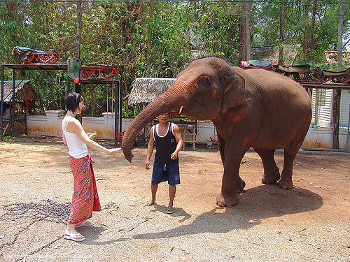 ช้าง - woman feeding elephant (thailand), asian elephant, mahout, man, thailand, trunk, woman, ช้าง