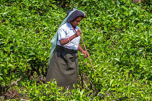 woman picking tea leaves in tea plantation (india), agriculture, farming, india, tea harvesting, tea leaves, tea plantation, tea plucking, west bengal, women, working