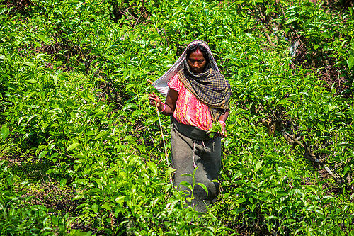 woman picking tea leaves - tea plantation - harvesting (india), agriculture, farming, india, tea harvesting, tea leaves, tea plantation, tea plucking, west bengal, women, working