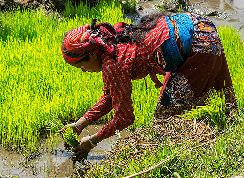 woman transplanting rice (nepal), agriculture, farming, rice paddies, rice paddy fields, transplanting, woman