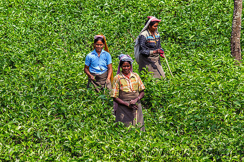 women harvesting tea leaves (india), agriculture, farming, tea harvesting, tea leaves, tea plantation, tea plucking, west bengal, women, working