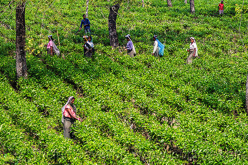 women harvesting tea leaves - tea plantation (india), agriculture, farming, india, tea harvesting, tea leaves, tea plantation, tea plucking, west bengal, women, working