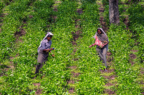 women plucking tea leaves in tea plantation (india), agriculture, farming, tea harvesting, tea leaves, tea plantation, tea plucking, west bengal, women, working