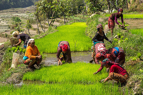 women transplanting rice (nepal), agriculture, rice paddies, rice paddy fields, terrace farming, terraced fields, transplanting, women