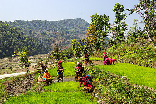 women working in rice field - transplanting rice (nepal), agriculture, rice paddies, rice paddy fields, terrace farming, terraced fields, transplanting, women, working