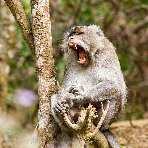 yawning macaque monkey, canine teeth, forest, lombok, macaque monkey, mouth, rainforest, sitting, tree, wild monkey, wildlife, yawning