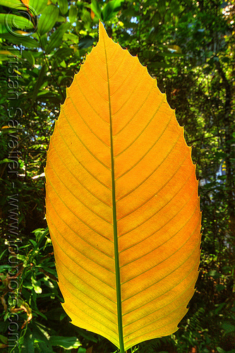 yellow leaf with veins, backlight, borneo, gunung mulu national park, jungle, leaf veins, malaysia, plants, rain forest, yellow