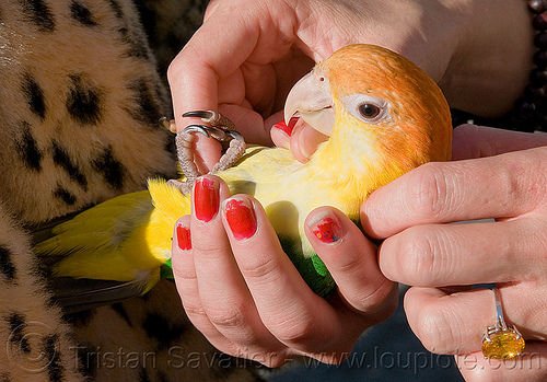 yellow parrot pet bird, bird, fingers, haight st, haight street fair, hands, parrot, yellow