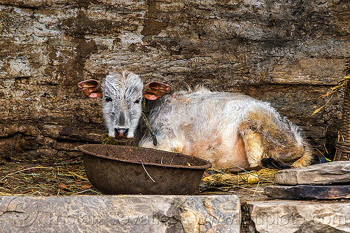 young calf lying down (india), baby cow, calf, hay, india, janki chatti, lying down, manger