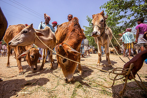 young cows on leash at cattle market (india), cattle market, cows, eating, farmer, hand, hay, holding, leash, ropes, west bengal