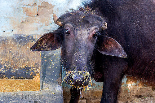 young water buffalo with hay on nose (india), cow, dirty nose, hay, head, india, manger, snout, trough, water buffalo