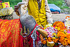 wattle on hump of holy bull, decorated, hand, hindu, hinduism, holding, holy bull, holy cow, hump, kumbha mela, maha kumbh mela, marigold flowers, orange flowers, sacred bull, sacred cow, trident, wattle