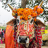 decorated holy cow, decorated, hindu, hinduism, holy bull, holy cow, kumbha mela, maha kumbh mela, marigold flowers, orange flowers, sacred bull, sacred cow