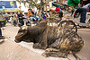 big bull oblivious to street traffic (india), bicycles, bikes, bull, cycle rickshaws, lying down, motorbikes, motorcycles, moving, resting, street cow, traffic, varanasi