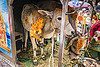 six legged cow - polymelia (india), 6 legged cow, baby cow, calf, holy cow, legs, offerings, painted, polymelia, six legged cow, varanasi