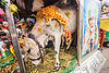 five legged holy cow (india), 5 legged cow, baby cow, calf, five legged cow, holy cow, legs, offerings, painted, polymelia, sai baba, varanasi