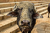 muddy water buffalo cow (india), chain, cow nose, cow snout, dirty, ghats, head, lip piercing, mud, muddy, steps, varanasi, water buffalo