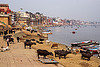 water buffaloes and cows on the ghats of varanasi (india), buildings, cows, ganga river, ganges river, ghats, houses, mooring, river bank, river boats, rowing boats, small boats, steps, varanasi, water buffaloes