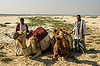 farmers with their camels lying down (india), camel muzzle, desert, double hump camels, flood plain, ganga, ganges, lying down, men, resting, sand, two