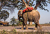 elephant walking on road (india), asian elephant, elephant riding, mahout, man, road, trees