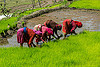 transplanting rice (nepal), agriculture, paddy fields, rice fields, terrace farming, terrace fields, transplanting, women, working