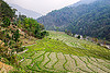 terrace fields in sikkim (india), agriculture, sikkim, terrace farming, terrace fields, valley