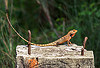 orange chameleon (india), chameleon, lizard, orange color, reptile, west bengal, wildlife