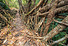 living root bridge - east khasi hills (india), banyan, east khasi hills, ficus elastica, footbridge, jungle, living root bridge, mawlynnong, meghalaya, rain forest, roots, strangler fig, trail, trees