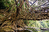 anchor of living root bridge - mawlynnong (india), banyan, east khasi hills, ficus elastica, footbridge, jingmaham, jungle, living root bridge, mawlynnong, meghalaya, rain forest, river, roots, strangler fig, trees, wahthyllong, water