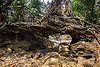 small living root bridge near mawlynnong (india), banyan, east khasi hills, ficus elastica, footbridge, jungle, living root bridge, mawlynnong, meghalaya, rain forest, rocks, roots, strangler fig, trees