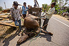 loading up on a tricycle the carcass of a water buffalo killed in a traffic accident (india), carcass, cargo tricycle, cow, crash, dead, freight tricycle, hay, injured, loading, lying, men, road, rope, traffic accident, truck accident, tying, water buffalo