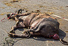 dead water buffalo killed in truck accident (india), carcass, cow, crash, dead, injured, lying, men, road, traffic accident, truck accident, water buffalo