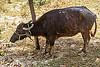 injured water buffalo after truck accident (india), cow, crash, injured, road, rope, shade, standing, tree, water buffalo