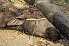 dead water buffalo after truck accident (india), carcass, cow, crash, dead, injured, lying, road, traffic accident, truck accident, water buffalo